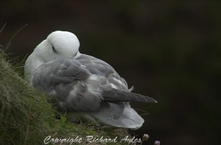 Fulmar resting on a cliff edge