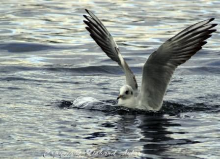 Black headed gull (in summer plumage) landing on water
