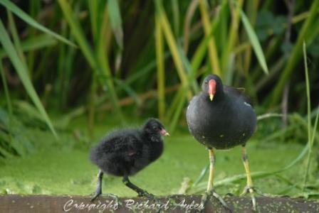 Moorhen with chick perched on floating log