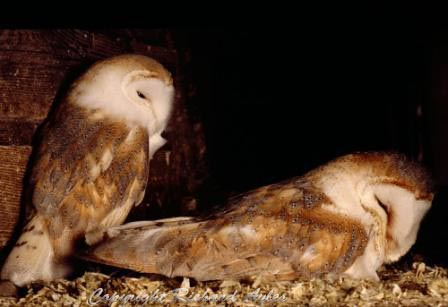 Barn owl pair in a nesting box