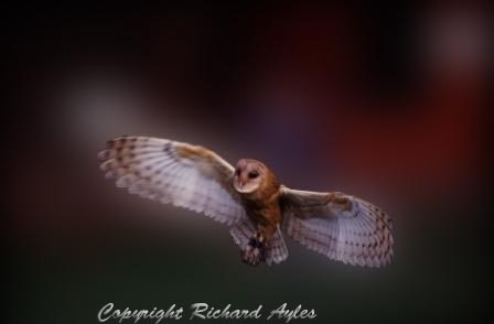 US Barn owl in flight