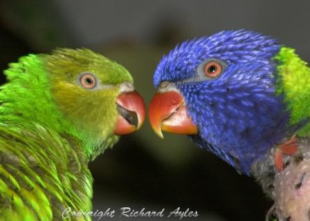 Pair of parrots, beak to beak